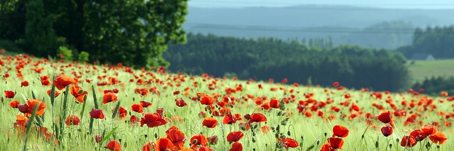 Mohnblumenfeld in der Eifel